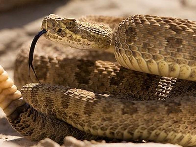Serpiente de cascabel utiliza su sonido como defensa
