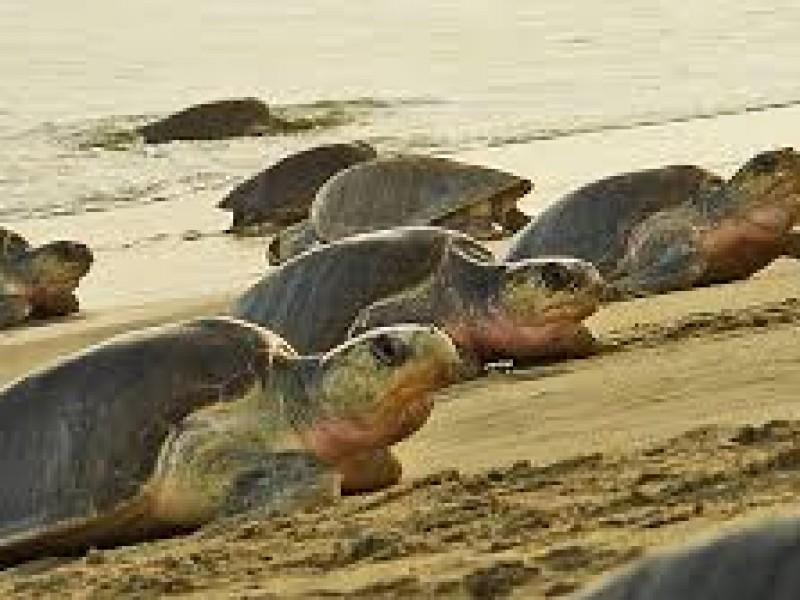 Sexta arribazón de tortugas golfinas en Oaxaca
