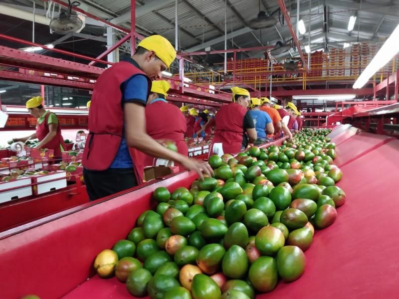 📹Sigue imparable robo de mango en Ahome