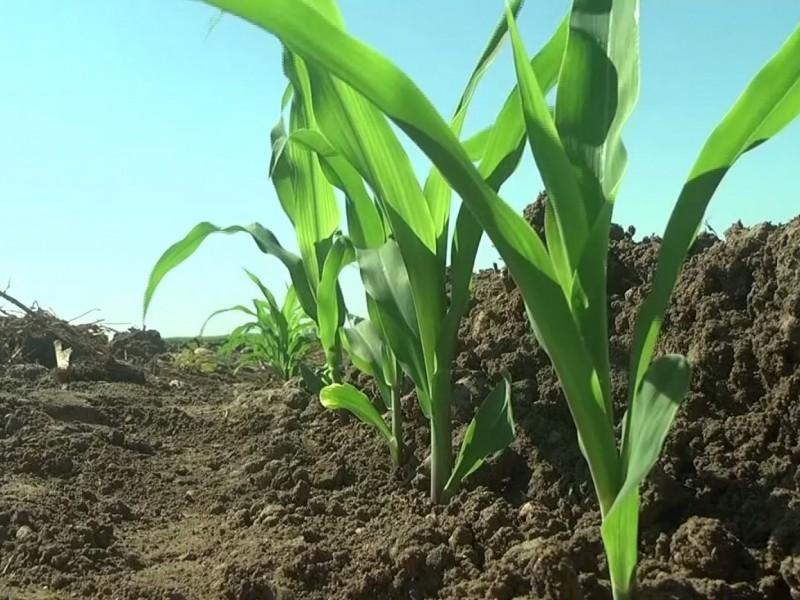 Siguen conflictos por la comercialización de maíz, acusan productores