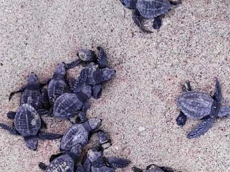 Siguen eclosiones de tortuga marina en Guaymas