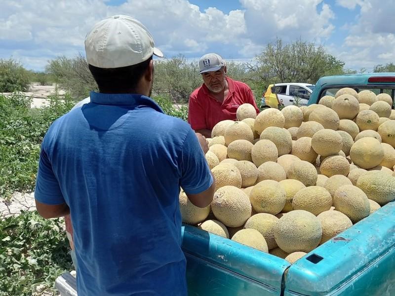Sobre producción de melón, perdida para productores de Tlahualilo, Durango