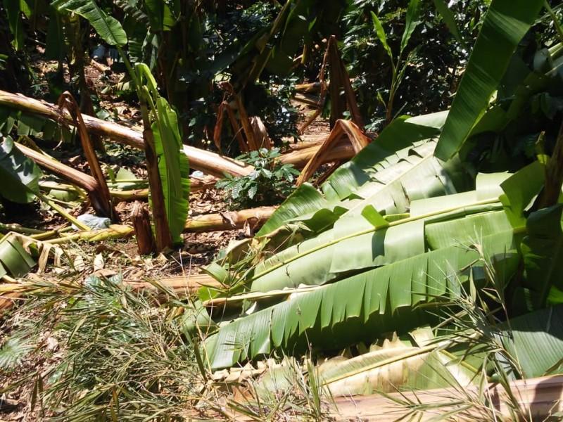 Sufren perdidas productores de plátano en Hueytamalco
