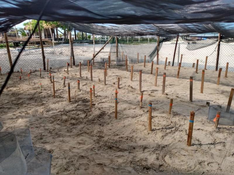 Superó expectativas arribo de Tortugas en Tuxpan