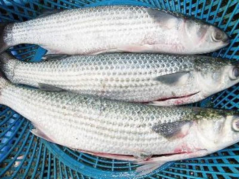 Suspendida pesca de la lisa en litoral chiapaneco