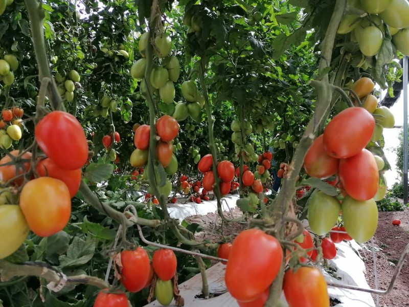 Temporada de legumbres cerrará con pérdidas millonarias en Sinaloa