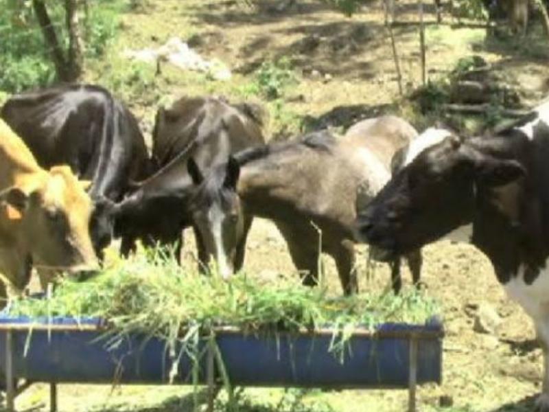 Temporada de sequía afecta gravemente al ganado