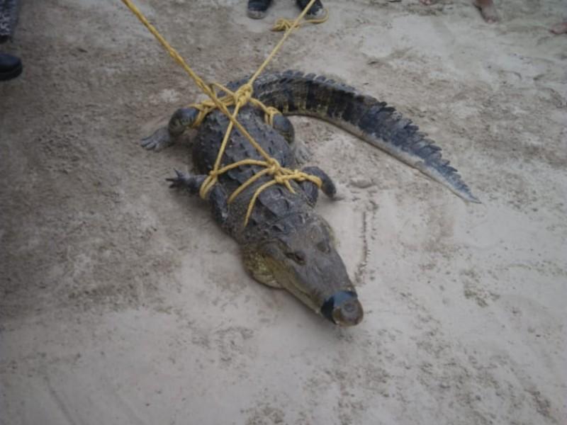 Terror en la playa; capturan a cocodrilo