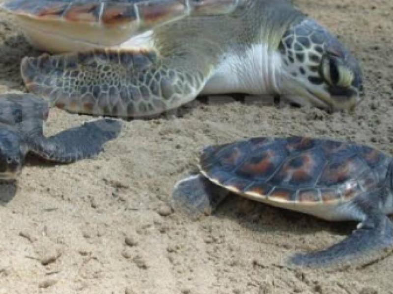 Tortugas aún amenazadas por saqueo de huevos en Chiapas