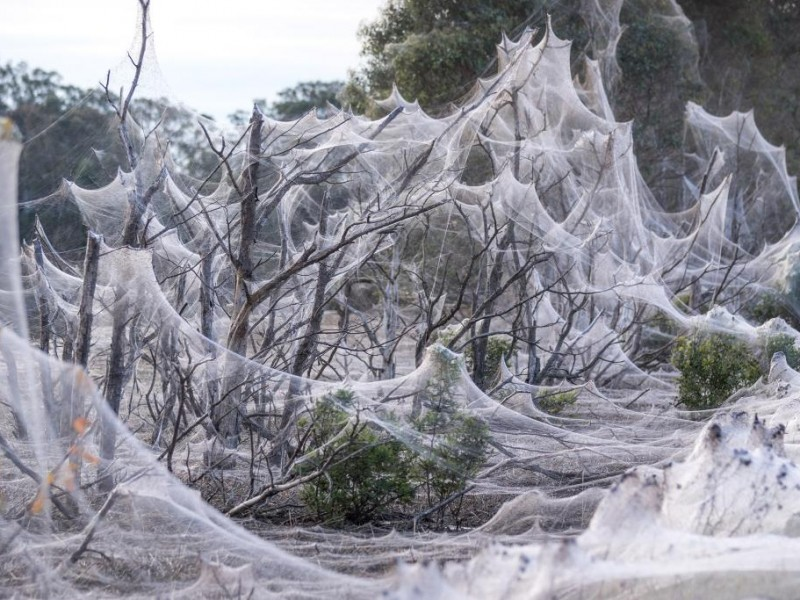 Tras lluvias e inundaciones, manto de telarañas cubre campos australianos