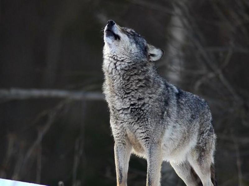 Trump elimina al lobo de lista de especies protegidas
