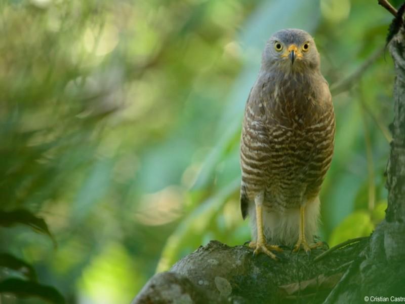 Tuxpan, dentro de la ruta migratoria de aves rapaces