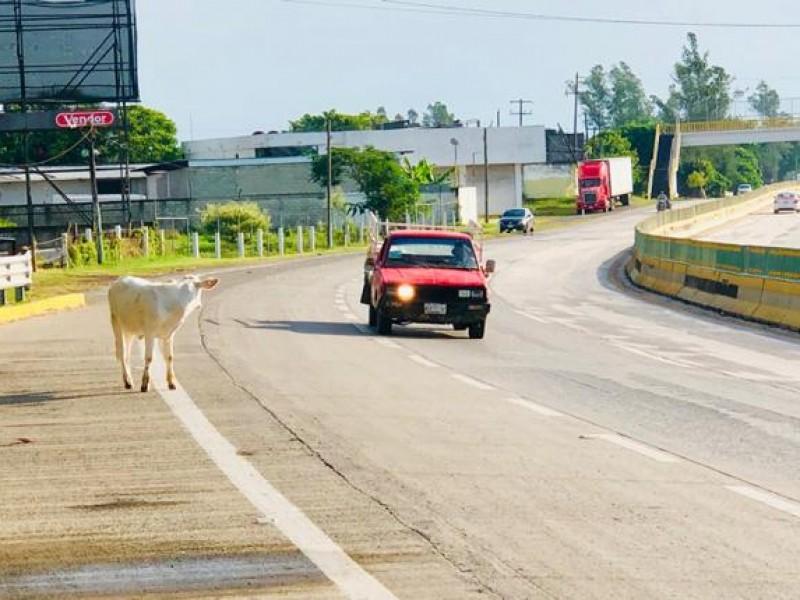Vagancia de animales en autopista
