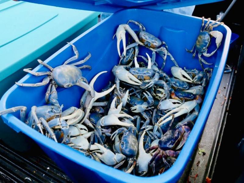 Veda de Cangrejo Azul, vital para su preservación