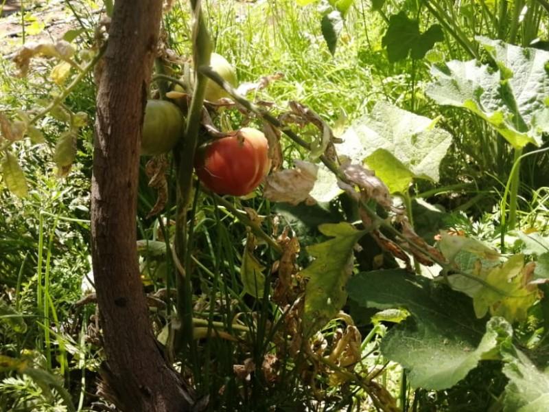 Verano, la peor época para sembrar en BCS