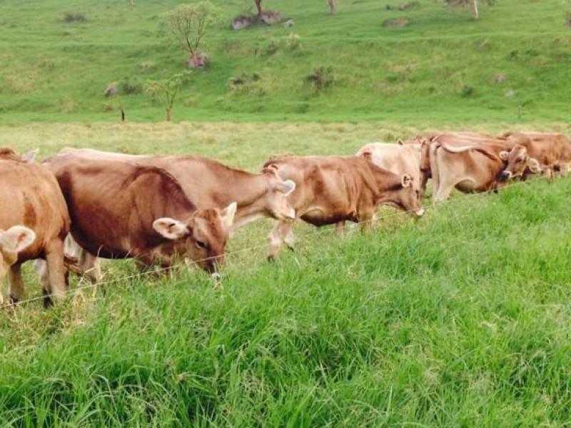 Vislumbran crisis ganadera por altas temperaturas en el Soconusco