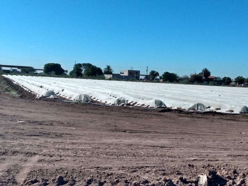 Ya hay daños por heladas en el Valle del Yaqui