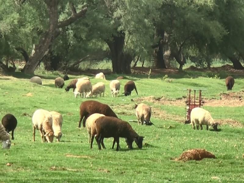 Zacatecas con acreditación de exportación de ganado suspendida