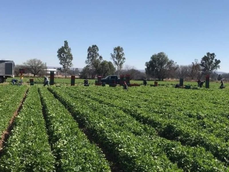 Zacatecas principal estado productor de cilantro
