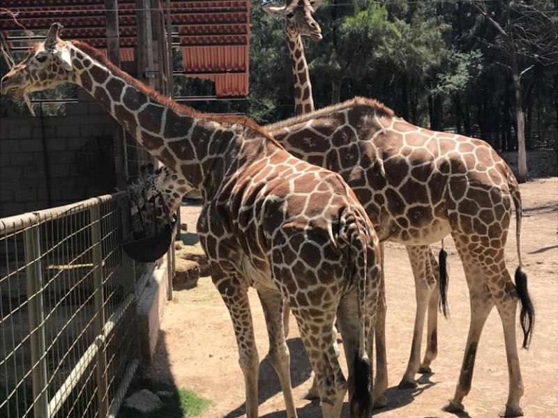 ZooLeón frena reproducción de especies, excepto jirafas